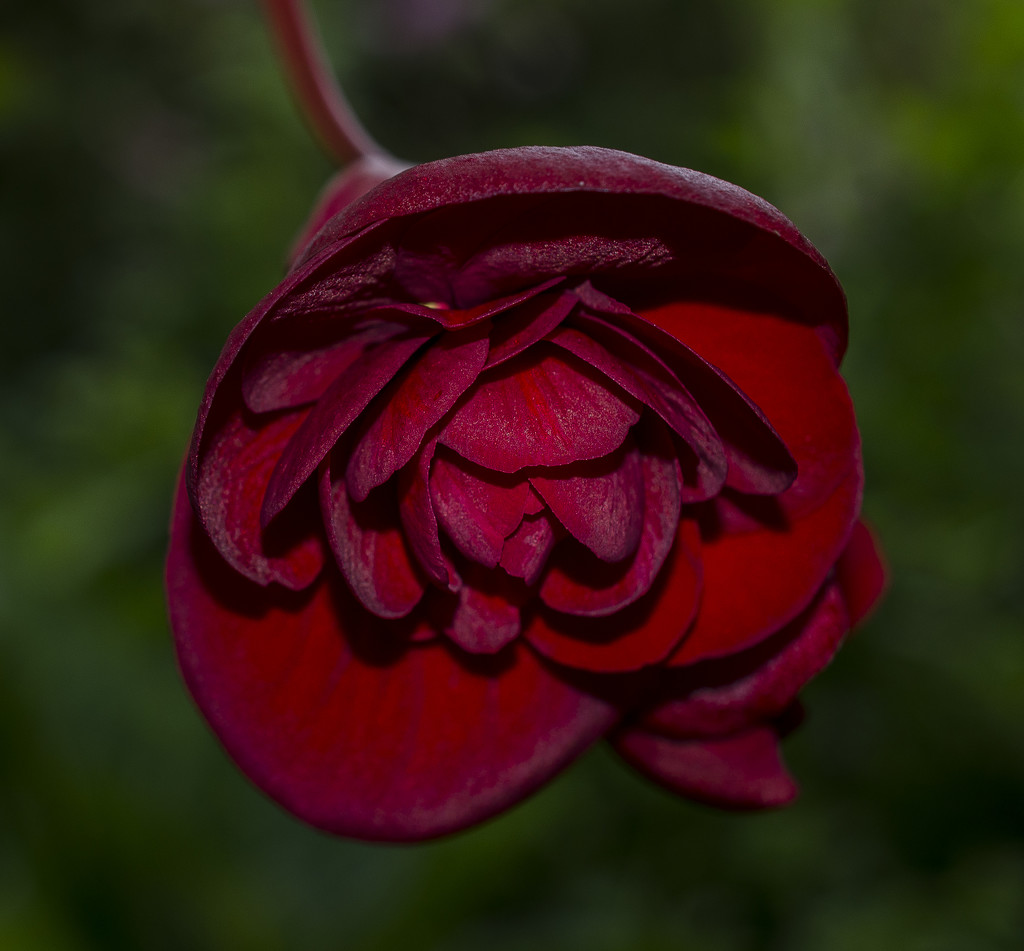 Dark Begonia  by tonygig