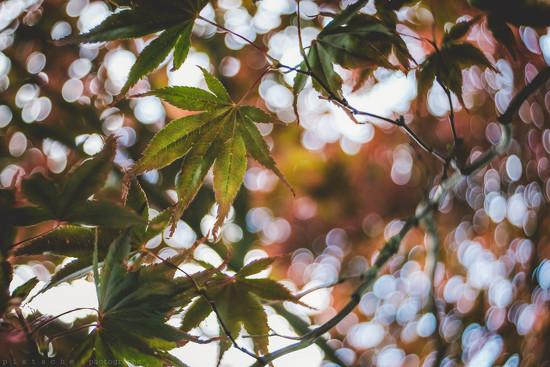 acer froth by pistache