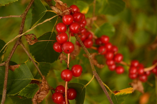 String of Berries by fbailey