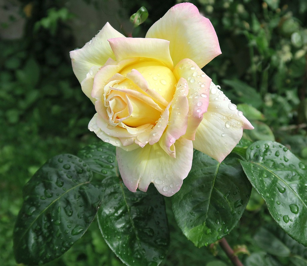 Raindrops On Roses. by wendyfrost