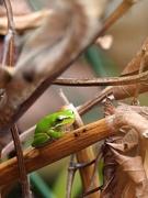 15th Sep 2018 - Eastern Dwarf Tree Frog