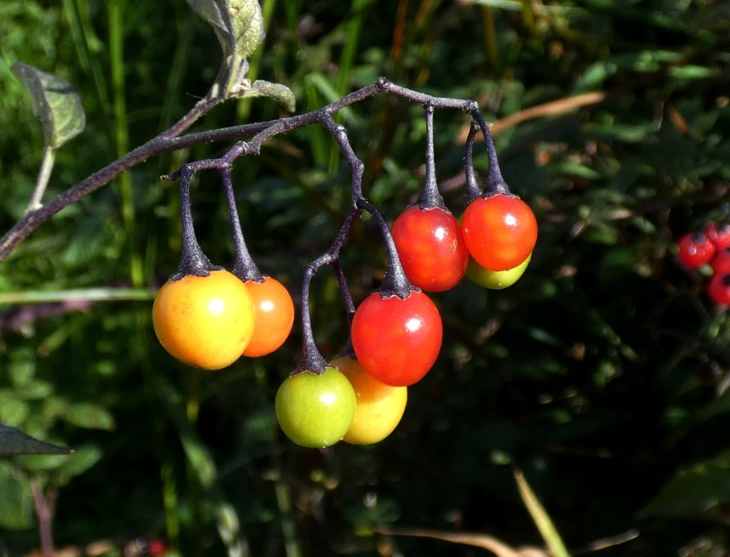 Woody Nightshade berries by julienne1