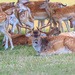 Roe Buck and females