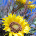 Get Pushed Sunflower by farmreporter