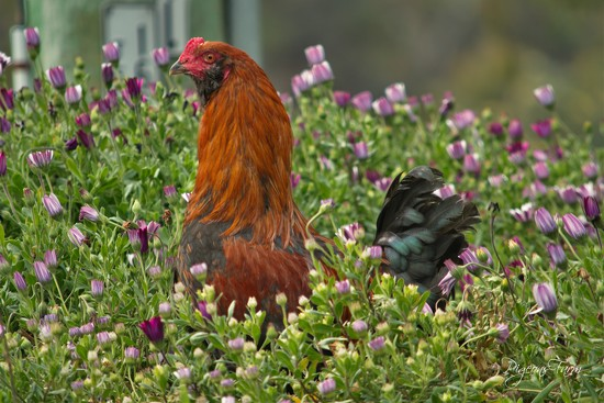 Bouquet of Hen by kgolab