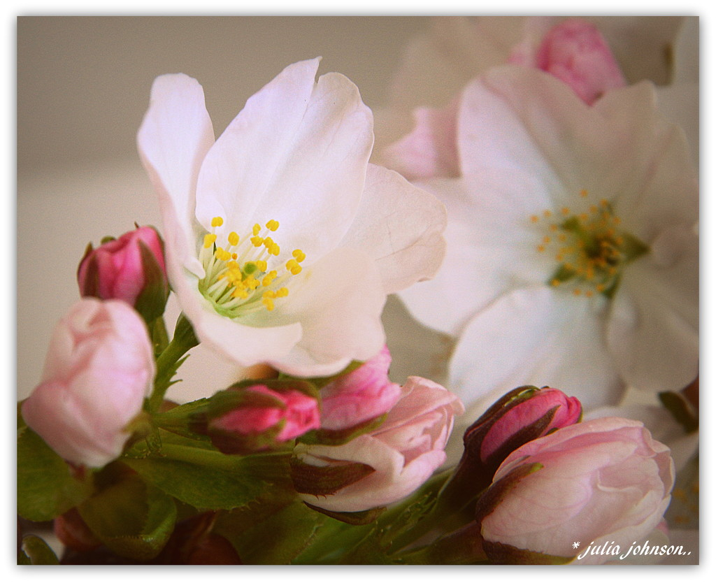 Kohe Kohe Cherry ... Buds and Blossom... by julzmaioro