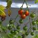 Cool Tomato Vine