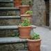 Five geranium pots