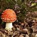fly agaric I (in Dutch Vliegenzwam) on 365 Project