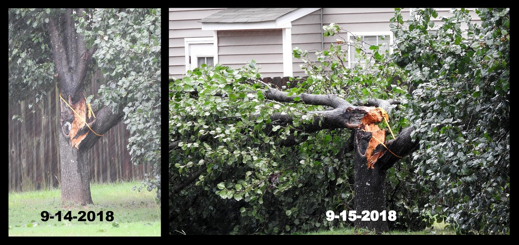 Why Bradford Pears are bad by homeschoolmom