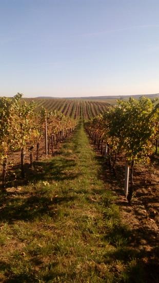 Vineyard by jakr