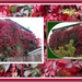 Virginia Creeper changing colours.