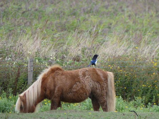 A Magpie On A Shetland Pony by snoopybooboo