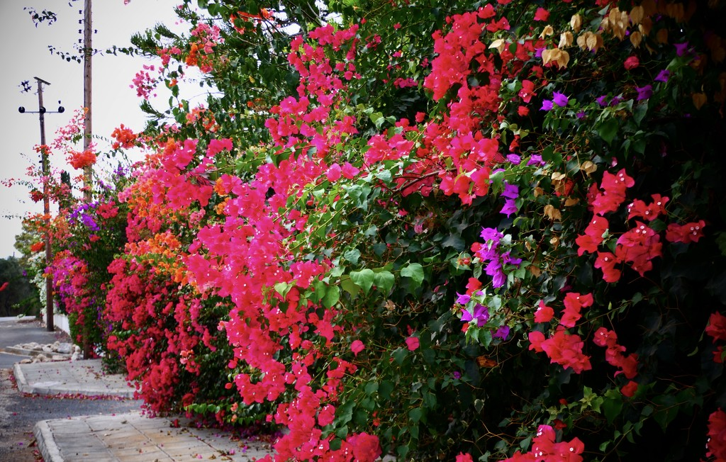 Bougainvillea Display by carole_sandford