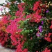 Bougainvillea Display