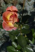 14th Sep 2018 - rose peach portrait