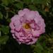 rose pink square