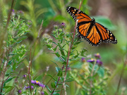16th Sep 2018 - monarch butterfly