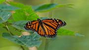 17th Sep 2018 - monarch wide
