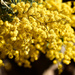 wattle bough