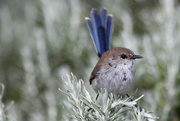 17th Sep 2018 - Juvenile blue wren