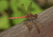 16th Sep 2018 - Common darter