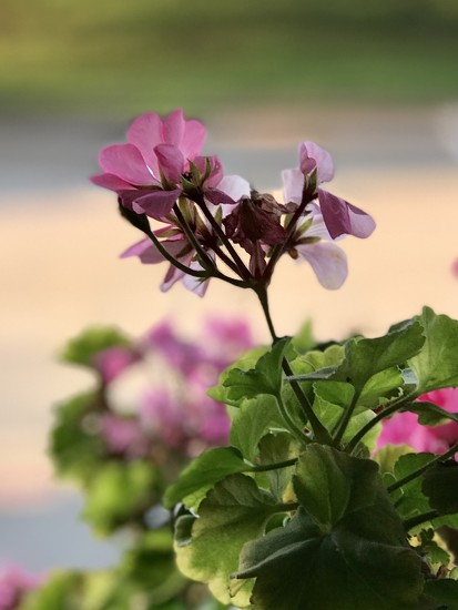 The geraniums at the Snooty Pig by louannwarren