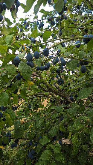 Damsels.. sorry Damsons in distress and waiting for gin  by brennieb