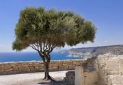 18th Sep 2018 - Coastal Olive Tree
