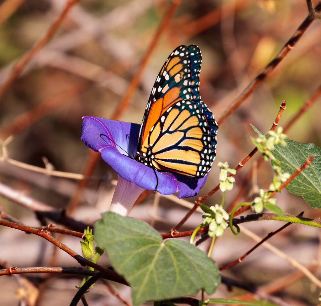 morning glory monarch by aecasey
