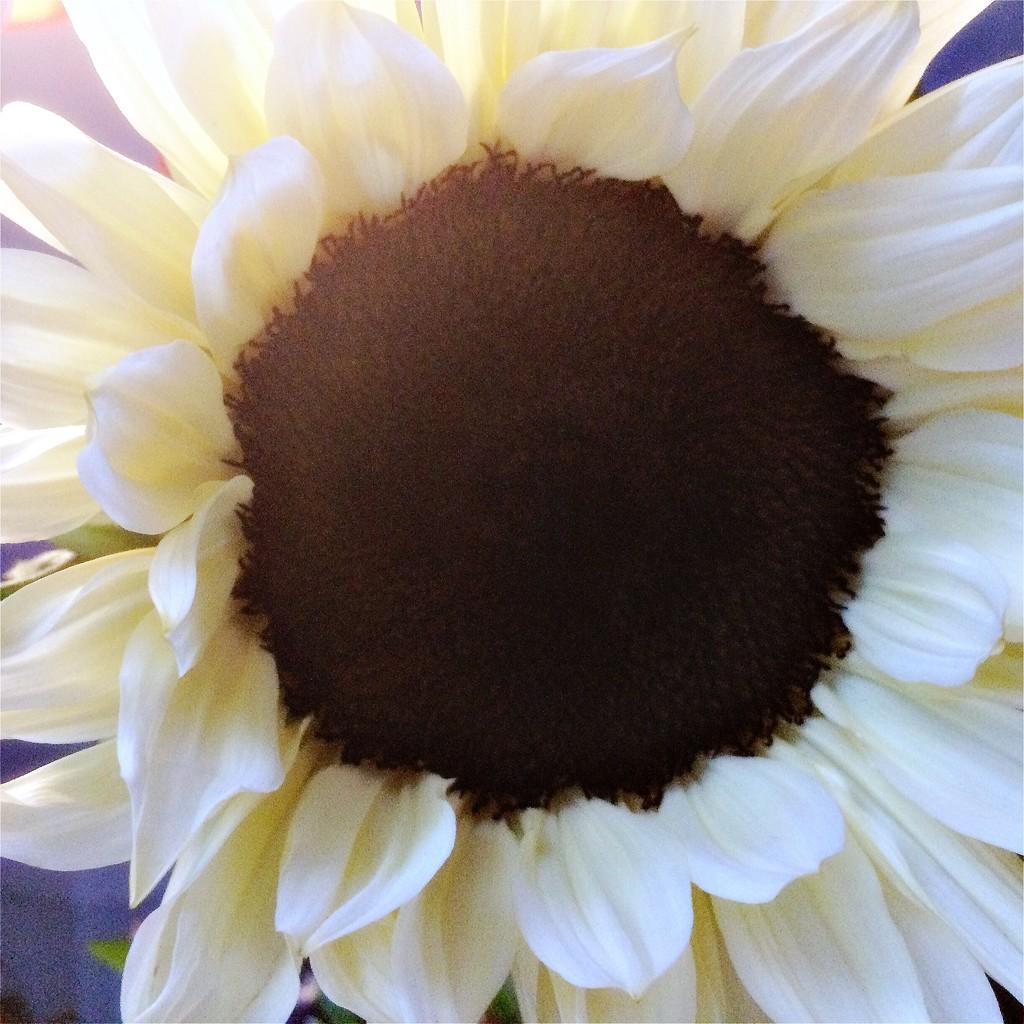 Italian White Sunflower by mastermek