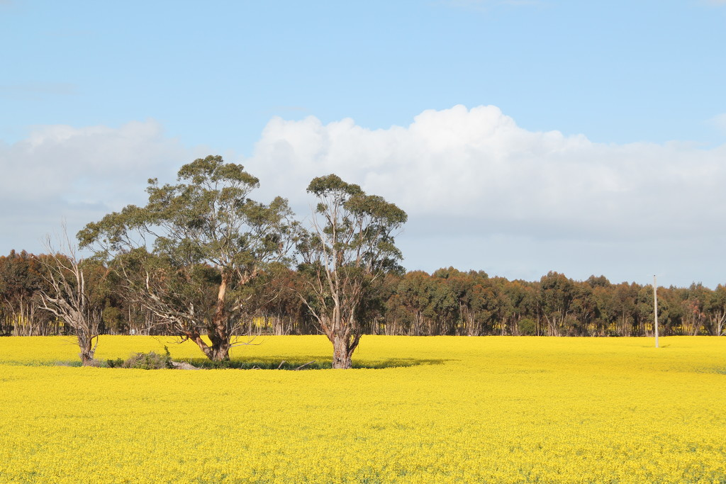 Yellow fields  by gilbertwood