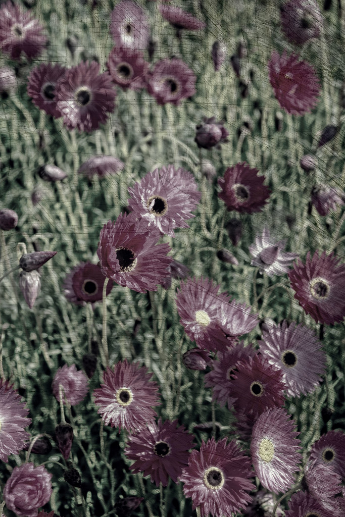 paper daisies by annied