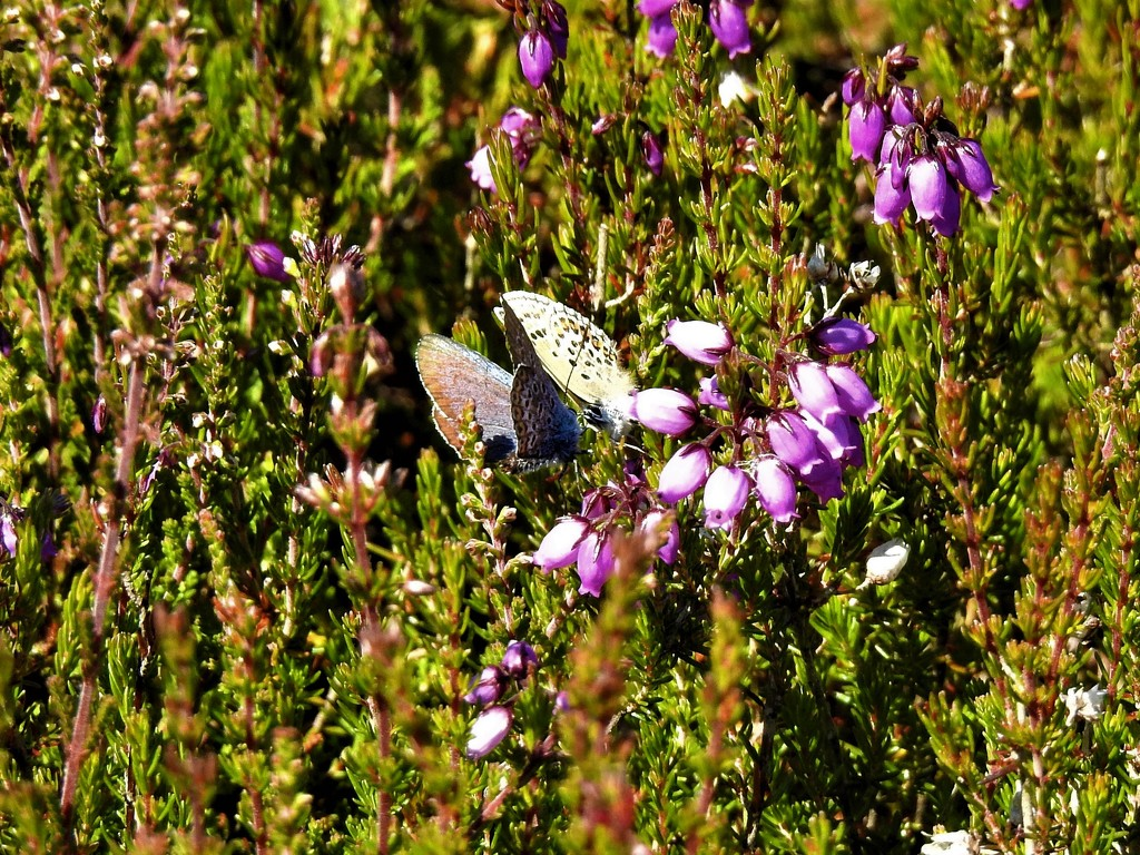 Male and Female Silver Studded Blue on Heather by susiemc