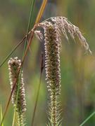 19th Sep 2018 - prairie grass