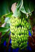 19th Sep 2018 - 🎶 Yes, we have no bananas....