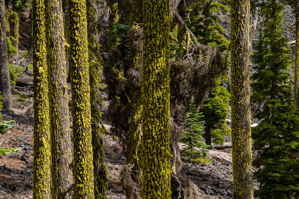 Lichen on the Trees: The Original by taffy