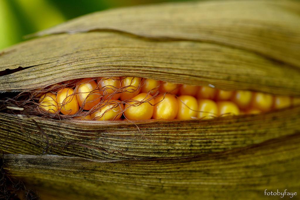 The golden ear of corn ... cattle corn that is! by fayefaye