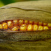 The golden ear of corn ... cattle corn that is!