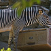 Zebra Playing With Lunch Box