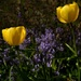 Two yellow tulips in the bluebells