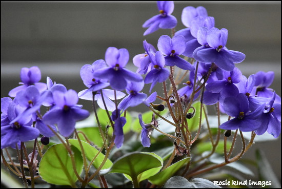 My beautiful violets by rosiekind