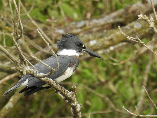 Belted kingfisher by amyk