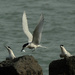 White fronted tern bringing in a fish