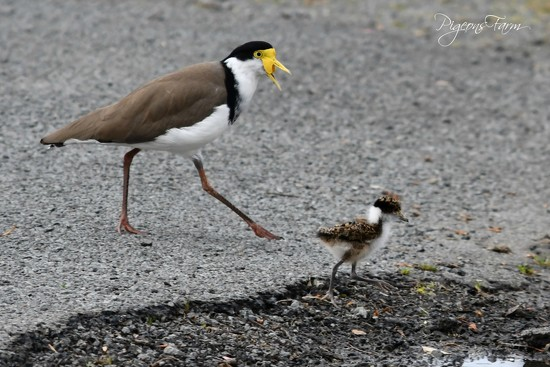 Masked Lapwing & their Chick by kgolab