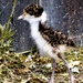 Masked Lapwing Chick by kgolab