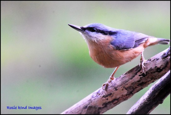 Nuthatch  by rosiekind