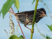 10th Sep 2018 - song sparrow closeup