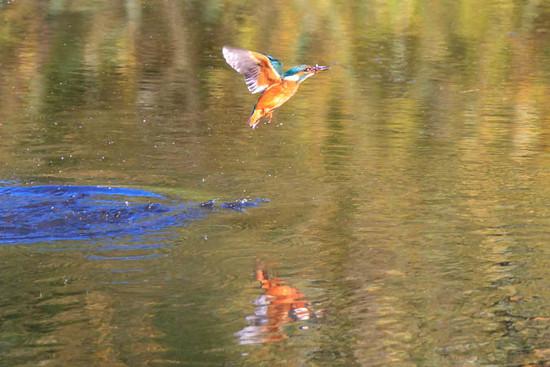 Female Kingfisher water splash by padlock