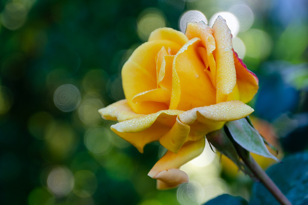 Yellow Rose by salza